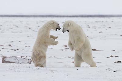 Polar bear sparring match