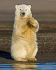 """This photograph of a Polar Bear cub was captured in the Arctic National Wildlife Refuge (ANWR), Alaska (9/10).     <font color=""""RED""""><h5>This photograph is protected by the U.S. Copyright Laws and shall not to be downloaded or reproduced by any means without the formal written permission of Ken Conger Photography.<font color=""""RED""""></font></h5></font>"""