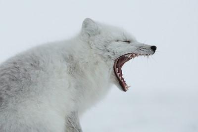 Arctic fox, waking up