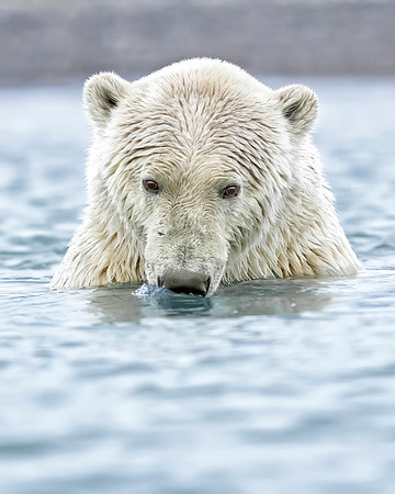 Polar Bear within Arctic National Wildlife Refuge, Alaska