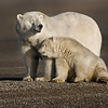 """This photograph of a Polar Bear sow and cub was captured in the Arctic National Wildlife Refuge (ANWR), Alaska (9/10).     <font color=""""RED""""><h5>This photograph is protected by the U.S. Copyright Laws and shall not to be downloaded or reproduced by any means without the formal written permission of Ken Conger Photography.<font color=""""RED""""></font></h5></font>"""