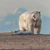 """This photograph of a Polar Bear with the Brooks Range in the background was captured in the Arctic National Wildlife Refuge (ANWR), Alaska (9/10).     <font color=""""RED""""><h5>This photograph is protected by the U.S. Copyright Laws and shall not to be downloaded or reproduced by any means without the formal written permission of Ken Conger Photography.<font color=""""RED""""></font></h5></font>"""