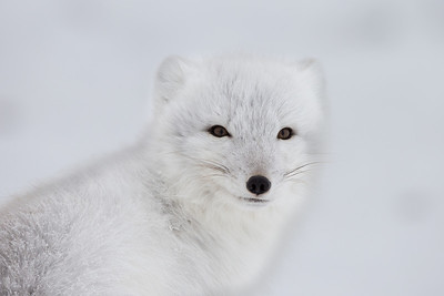 Arctic fox, striking a pose