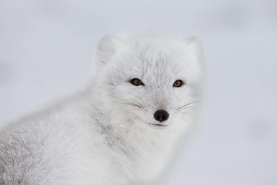 Arctic fox, striking a pose