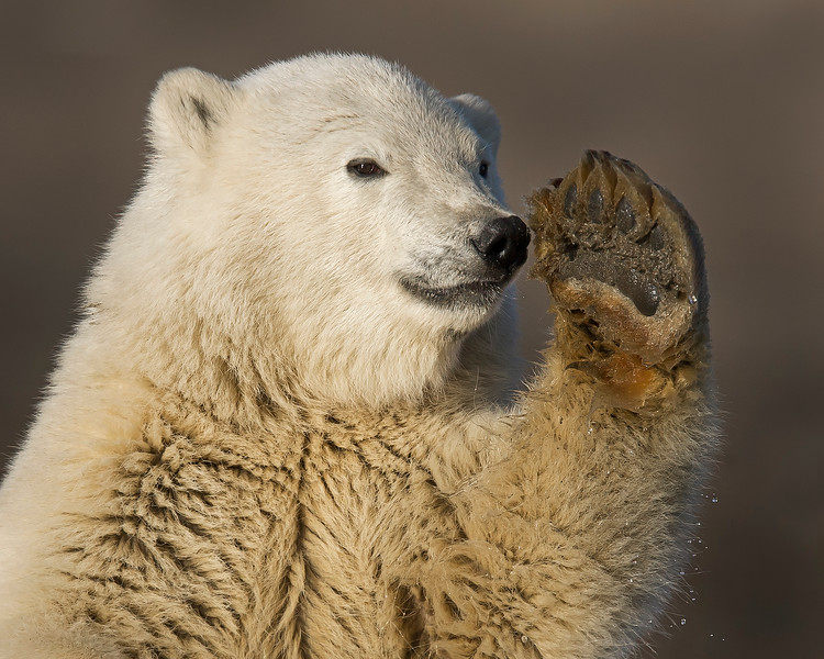 This photograph of a waving Polar Bear cub was captured in the Arctic National Wildlife Refuge (ANWR), Alaska (9/10).     This photograph is protected by the U.S. Copyright Laws and shall not to be downloaded or reproduced by any means without the formal written permission of Ken Conger Photography.