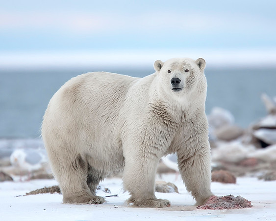 This Polar Bear photograph was captured in the Arctic National Wildlife Refuge (9/09).    This photograph is protected by the U.S. Copyright Laws and shall not to be downloaded or reproduced by any means without the formal written permission of Ken Conger Photography.