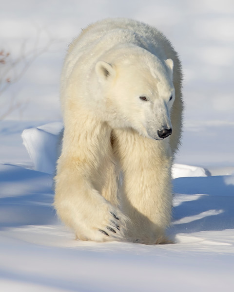 Wapusk National Park Polar Bear Sow