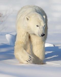 Wapusk National Park Polar Bear Sow