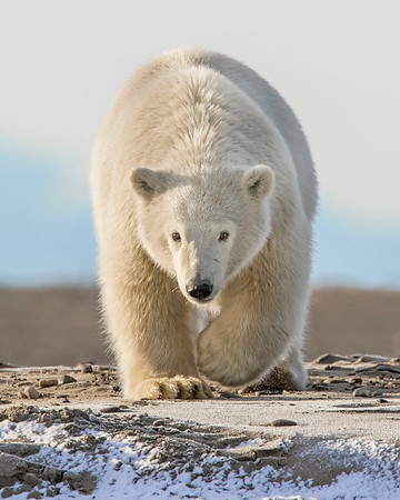 This photograph of a Polar Bear was captured in the Arctic National Wildlife Refuge (ANWR), Alaska (9/10).     This photograph is protected by the U.S. Copyright Laws and shall not to be downloaded or reproduced by any means without the formal written permission of Ken Conger Photography.