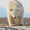 """This photograph of a Polar Bear was captured in the Arctic National Wildlife Refuge (ANWR), Alaska (9/10).     <font color=""""RED""""><h5>This photograph is protected by the U.S. Copyright Laws and shall not to be downloaded or reproduced by any means without the formal written permission of Ken Conger Photography.<font color=""""RED""""></font></h5></font>"""