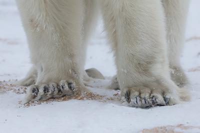 The business end of a polar bear