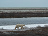 Another bear in typical Hudson Bay coast scenery.  In the background one can see Hudson Bay.  Closer, there is the bleak tundra with many fresh water ponds.  Ice is beginning to form and the bear is moving around and testing it.