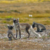 Arctic Fox (Vulpes lagopus) with cubs. Taken at Ny Alesund, Spitsbergen.