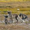 Arctic Fox (Vulpes lagopus) with cubs. Taken at Ny Alesund, Spitsbergen.