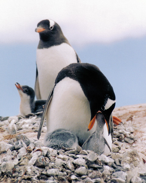 Penguin 05