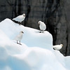 Group of Snowy Sheathbills (Chionis alba) also known as a Pale-faced sheathbill or Paddy. Usually found at Antarctica. Photograph by Christian Wilkinson.