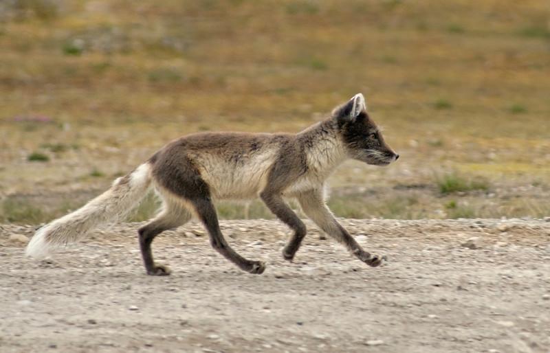 Arctic Fox (Vulpes lagopus) at Ny Alesund, Spitsbergen.