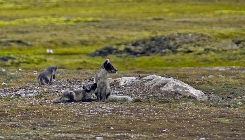 Arctic Fox (Vulpes lagopus) suckles cubs. Taken at Ny Alesund, Spitsbergen.