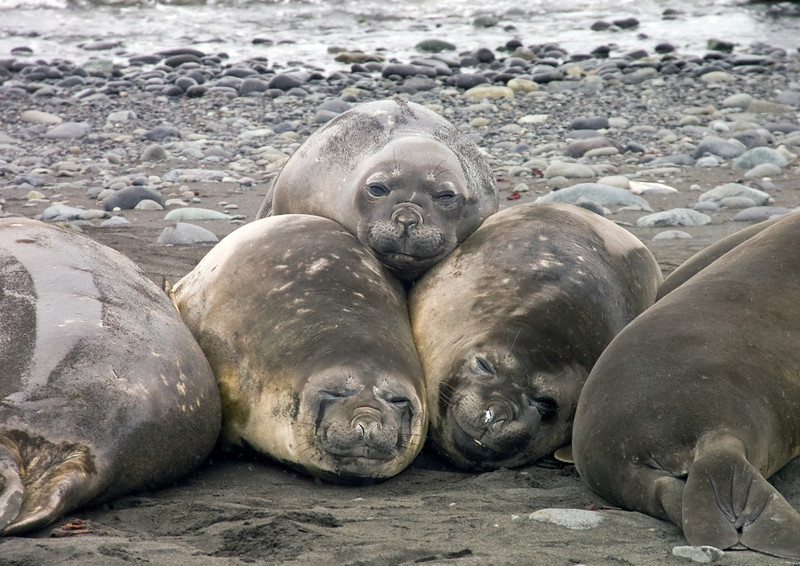 Elephant Seals at Antarctica. Photograph by Christian Wilkinson.