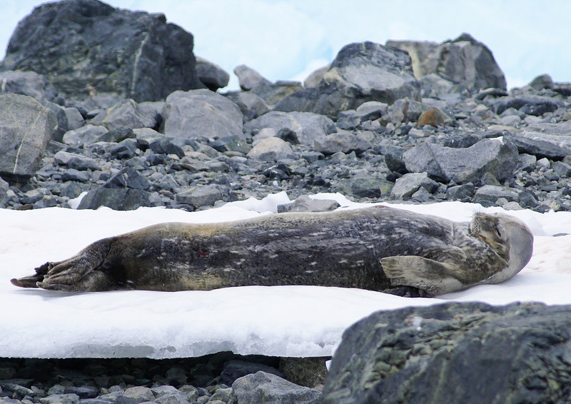 Weddell Seal (Leptonychotes weddellii) sleeping on ice and snow in Antarctica. The Weddell seal is an endangered species. Photograph by Christian Wilkinson