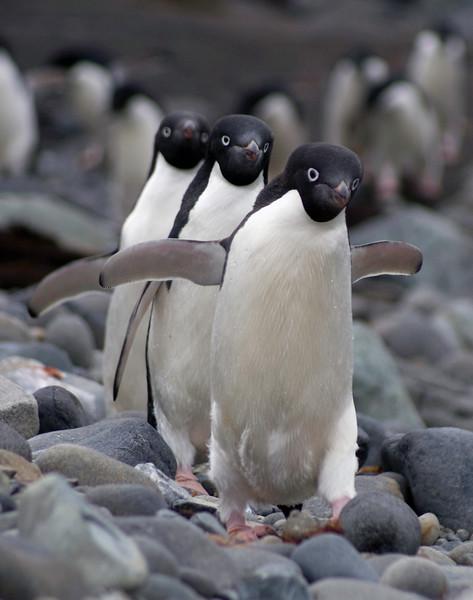 Three Adele Penguins
