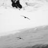 South Polar Skuas (genus Stercorarius) at Antarctica. Monotone image by Christian Wilkinson.