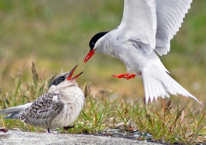 Antarctic Tern (Sterna vittata) feeds chick at South Georgia. Photograph by Christian Wilkinson.