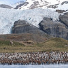 Colony of Juvenile King Penguins (Aptenodytes patagonicus) on a beach at South Georgia. Photograph by Christian Wilkinson.