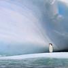Chin Strap Penguins in Antarctica