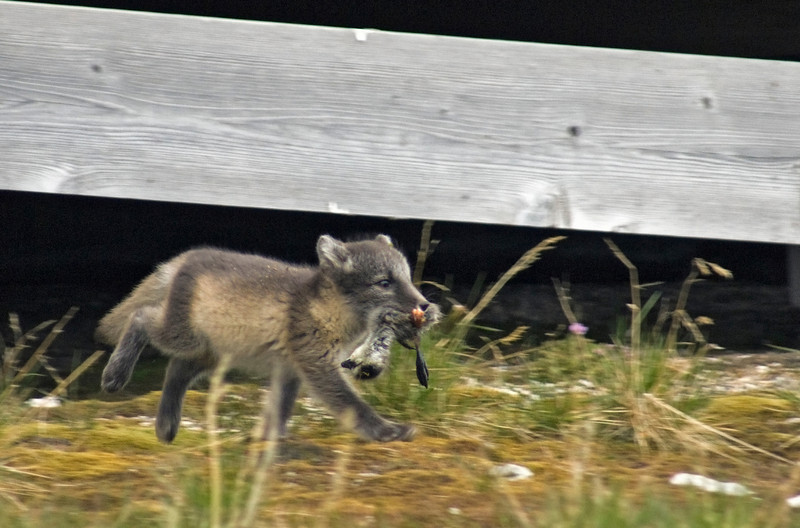 Arctic Fox (Vulpes lagopus) cub with a tasty Barnacle geese. Taken at Ny Alesund, Spitsbergen.