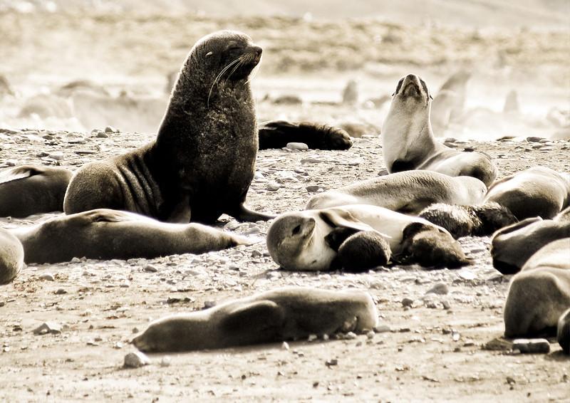 Antarctic Fur Seals at Antarctica. Photograph by Christian Wilkinson.