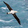 Overhead view of a Wandering Albatross (Diomedea exulans) in flight over the Atlantic Ocean. Photo by Christian Wilkinson
