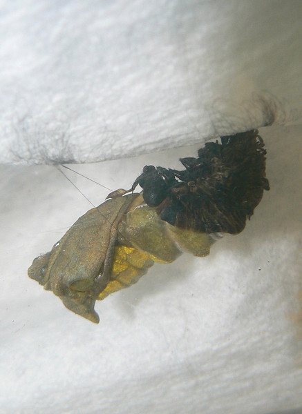 P103d38CropPupating472 Dec. 23, 2007  7:15 a.m.  P103x0472 This one left his plant and has pupated early on Day 38 on paper toweling in the box..  The shed skin has not fallen yet.