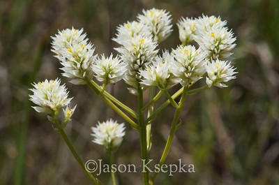 Polygala balduinii, Baldwin's milkwort; Liberty County, Florida 2013-05-25   2