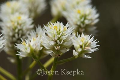 Polygala balduinii, Baldwin's milkwort; Liberty County, Florida 2013-05-25   4
