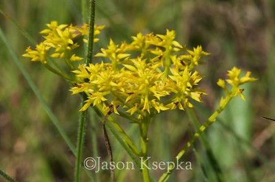 Polygala ramosa, low pinebarren milkwort; Liberty County, Florida 2016-05-24   2