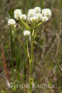 Polygala balduinii, Baldwin's milkwort; Liberty County, Florida 2013-05-25   5