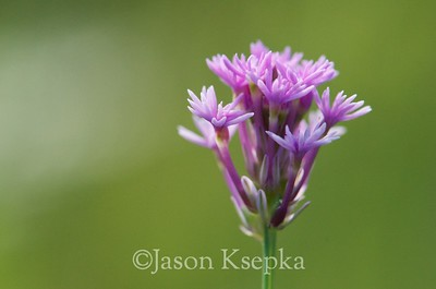 Polygala incarnata, Procession Flower; Okaloosa County, Florida  2013-05-24  #4