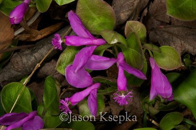 Polygala paucifolia, Fringed Polygala (Gaywings); Sussex County, New Jersey 5-10-08 7