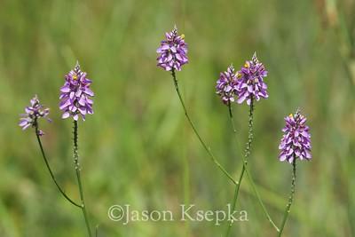 Polygala chapmanii, Chapman's milkwort; Liberty County, Florida 2016-05-24   1