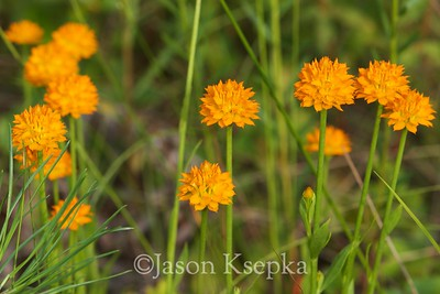 Polygala lutea, Orange Milkwort; Monmouth County, New Jersey 2014-06-25   21