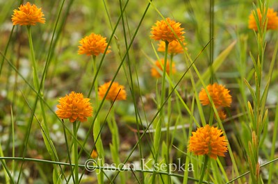 Polygala lutea, Orange Milkwort; Monmouth County, New Jersey 2014-06-25   14