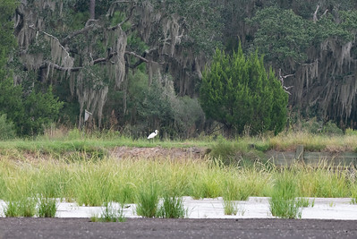 Add a Wood Duck box to the picture a Great Egret with breakfast and a bit of Spanish Moss, Perfect!