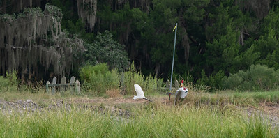 Yep, another fish for a Great Egret.