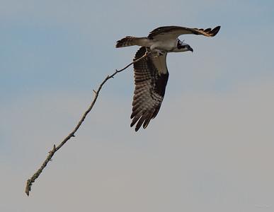 Osprey, taking nest material home.