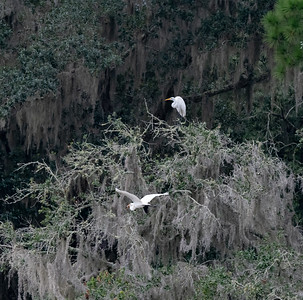 Great Egrets, Live Oaks and Spanish Moss; west side of House Pond.