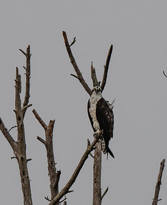 Osprey high up watching everything.  West side of House Pond.
