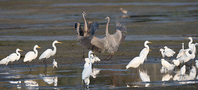 Great Blue Herons join the Great Egrets and Snowy Egrets at Upper Sanctuary Pond.