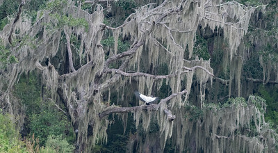 Wood Stork Lands in a Live Oak dressed in Spanish Moss