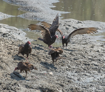 Turkey Vultures have a red head and the trailing underside of their wings is White.
